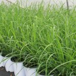 Lemongrass Growing Conditions
